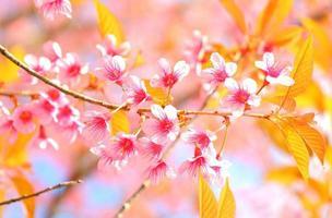 ciliegia selvatica himalayana foto