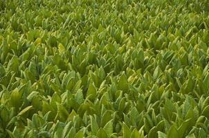 fattoria del tabacco