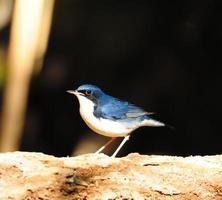 uccello siberiano pettirosso blu