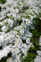primavera bianca