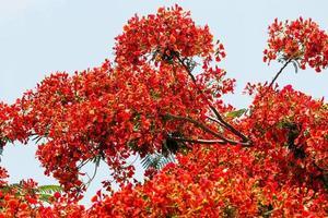albero di fiamma in fiore