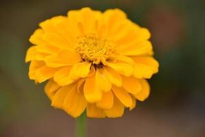 fiore di zinnia giallo