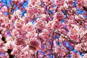 bellissimo fiore di ciliegio, fiore rosa sakura