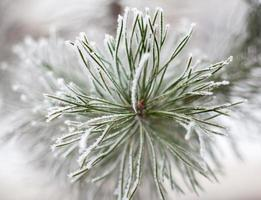 rami di conifere ricoperti di brina foto