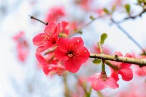 fiori di susina rossi