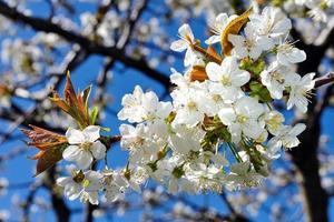 ciliegio in fiore foto