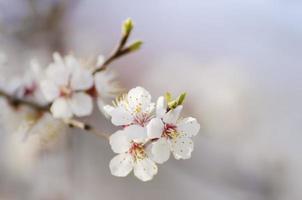 fiore dell'albero di albicocca