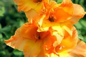 gladiolo arancione brillante