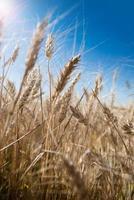 sfondo di spighe di grano con effetto riflesso lente foto