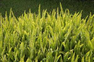 felce (monilophyta, polypodiophyta, filices, filicophyta) cespuglio ba