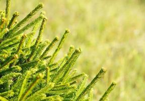 sfondo di albero di pino foto