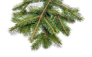 ramo di un albero sempreverde isolato su bianco foto