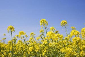 fiori di colza