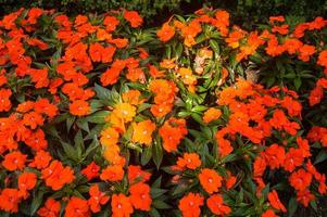 papaveri arancioni foto