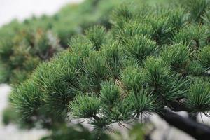 albero di pino giapponese foto