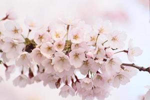 fiori di ciliegio in piena fioritura foto