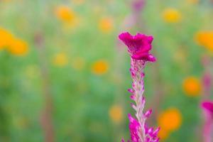 Close up dettaglio della cresta di gallo fiore con lo sfondo della natura