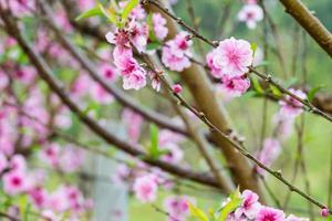 ciliegia selvatica himalayana