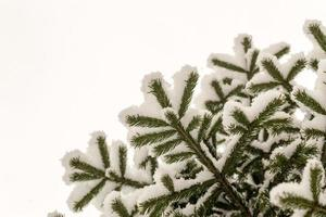 neve fresca fresca sui rami di un albero di pino foto