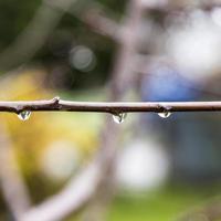 gocce di pioggia sui germogli dell'albero