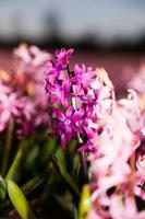 campo di bellissimi giacinti rosa con uno viola in Olanda.