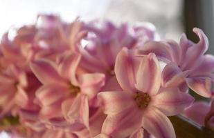 Jacinto in fiore