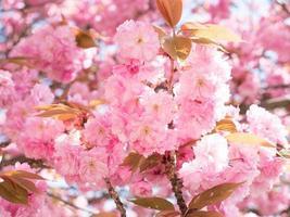 Sakura fiore rosa sullo sfondo del cielo di primavera