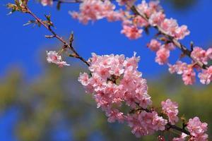 fiore di ciliegio in giappone