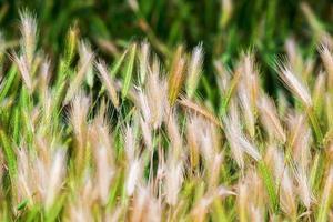 natura estate campo di erba di grano paesaggi rurali