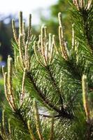 rami di pino silvestre con giovani germogli foto