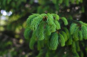 ramo di un albero di pino