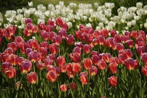 tulipani ramati
