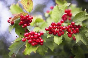 bacche di viburno rosso con foglie