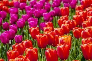 skagit valley oregon campi di tulipani foto