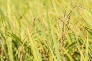 bellissimo campo di riso foto
