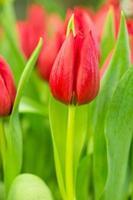 tulipano nel campo foto