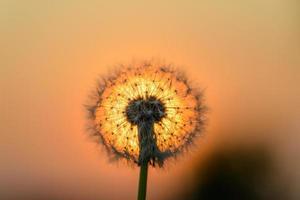 fiore di tarassaco al sole