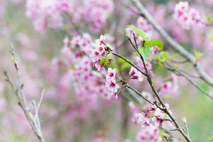 fiori di ciliegio o fiori di sakura sulla montagna di doi angkhang chiang