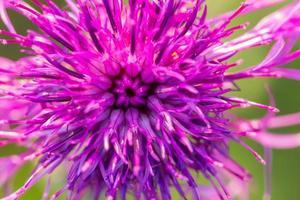 bellissimo fiore di cardo viola da vicino foto