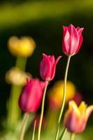 tulipano con bokeh.