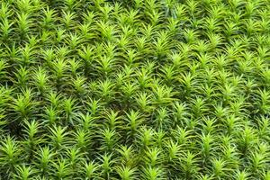 sfondo di muschio stella verde.