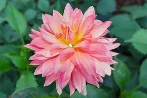 fiore rosa cosmo a chiangmai thailandia