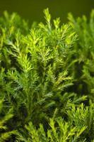 scovolino dorato, tea tree di fiume, tea tree nero