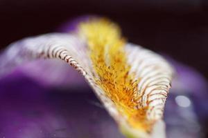 natura astratta: iris viola dolce bagnato (iris pallida)