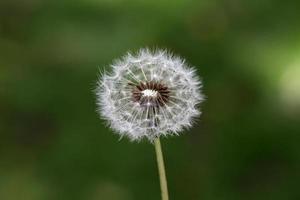 bellissimo fiore di tarassaco