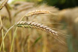 spighe dorate di grano sul campo.