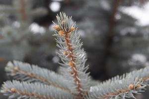 aghi del primo piano dell'albero di abete d'argento foto