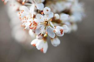 ramo di biancospino in fiore