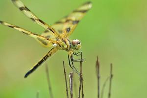 sorridente amberwing orientale foto