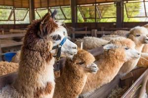 alpaca in fattoria foto